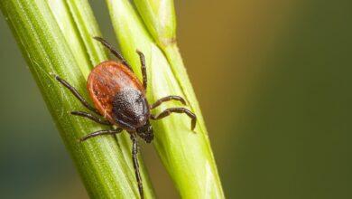 Photo of Borreliosi o malattia di Lyme: colpa di una puntura di zecca